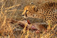 Free Cheetah On A Kill Royalty Free Stock Photos - 5827598
