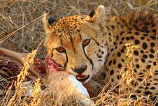 Free Cheetah On A Kill Royalty Free Stock Image - 5827676