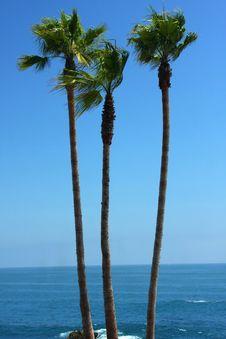 Free Three Palms Royalty Free Stock Photo - 5827715