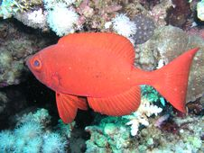 Free Red Small Fish Royalty Free Stock Photos - 5828008