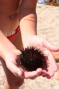 Free Sea-urchin In The Hands Royalty Free Stock Photos - 5828678
