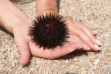 Free Sea-urchin In The Hands Stock Image - 5828731