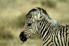 Baby Zebra In Rain Royalty Free Stock Photography