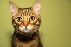 Free Bengali Kitten Royalty Free Stock Photos - 5829428