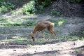 Free Siberian Roe Deer Stock Photo - 58214160