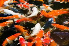 Colorful Koi Carp Fish Stock Image