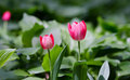 Free Tulip Stock Photography - 58293212