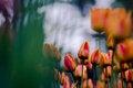 Free Tulip Stock Image - 58294001