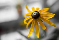 Free Sunflower Royalty Free Stock Images - 58293949