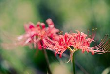Free Safflower Lycoris Radiata Stock Image - 58293991