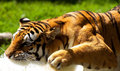 Free Tiger 1 Royalty Free Stock Images - 5830359
