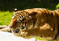 Free Tiger Playing With Water Stock Photography - 5830452