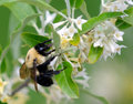 Free Bumble-bee Pollinates Flowers Royalty Free Stock Images - 5830619