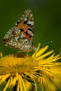 Free Red Admiral Butterfly Royalty Free Stock Photography - 5833987