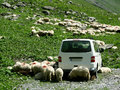 Free Sheep And Car On Mountain Road. Royalty Free Stock Photo - 5835735