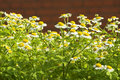 Free Camomiles. Stock Images - 5838114