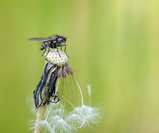Free Shaggy Fly Sits And Almost Bald Dandelion Royalty Free Stock Photography - 5830637
