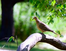 Eared Dove Siting On Stump Royalty Free Stock Photo