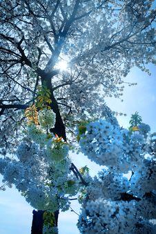 Free Blooming Tree Royalty Free Stock Photo - 5831365