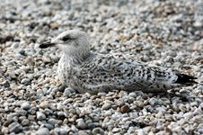 France Normandie: Seagull On Pebbles Royalty Free Stock Images