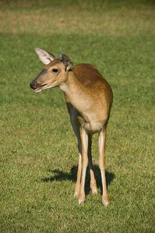 Deer In Grassy Field Royalty Free Stock Image
