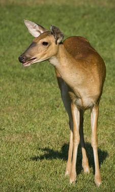 Deer Standing In Field Royalty Free Stock Images