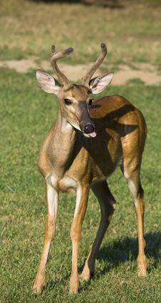 Deer Standing In Field Royalty Free Stock Photo