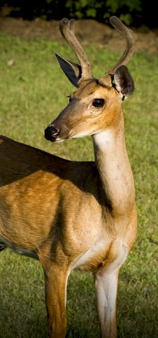Deer Standing In Grassy Field Royalty Free Stock Photos