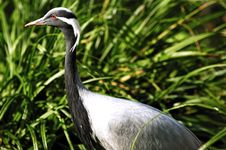 Free Great Blue Heron Royalty Free Stock Photo - 5832545