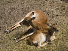 Free Antelopes Royalty Free Stock Photos - 5833228