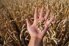 Free Grain Field And Hand Stock Photo - 5833830