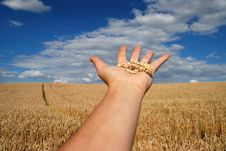 Free Grain Field And Hand Royalty Free Stock Photography - 5833837