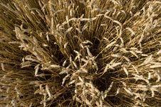 Free Grain Field Stock Photo - 5833850