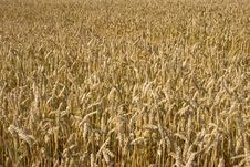 Free Grain Field Stock Images - 5833894