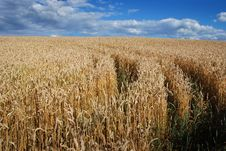 Free Grain Field Royalty Free Stock Image - 5833916