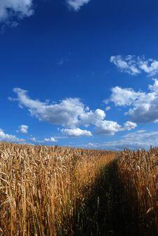 Free Grain Field Stock Image - 5833941