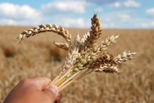 Free Grain Field And Hand Royalty Free Stock Photography - 5835177