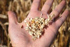 Free Grain Field And Hand Stock Photography - 5835222