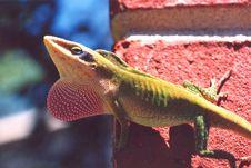 Free Lizard Royalty Free Stock Image - 5835656