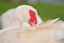 Free Geese Series 3 Royalty Free Stock Image - 5836166