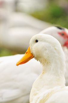 Free Duck Series 1 Stock Photo - 5836170