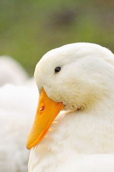 Free Duck Series 2 Royalty Free Stock Photo - 5836205