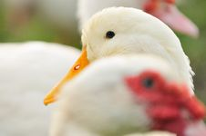 Free Duck Series 3 Stock Photography - 5836232