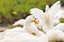 Free Duck Series 6 Royalty Free Stock Photos - 5836418