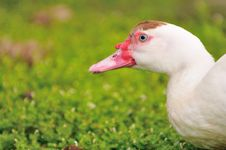 Free Geese Series 7 Stock Photography - 5837082
