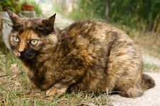 Calico Cat Stock Photography