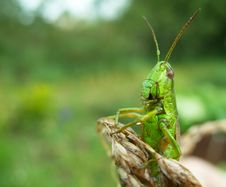 Free Portrait Of The Grasshopper Royalty Free Stock Image - 5838786
