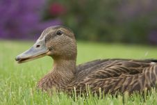Adorable Duck-y Royalty Free Stock Photo