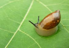 Free Snail On Green Leaf Royalty Free Stock Photography - 5838937