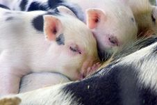 Free One Week Old Fuzzy Baby Piglets Stock Photos - 5839043